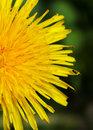 Dandelion medicinal herb