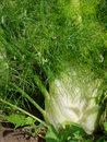 fennel medicinal herb