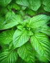 basil medicinal herbs
