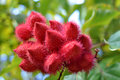 annatto medicinal herb