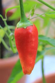 Cayenne pepper: By PierreSelim (Own work) [CC-BY-SA-3.0 (http://creativecommons.org/licenses/by-sa/3.0)], via Wikimedia Commons