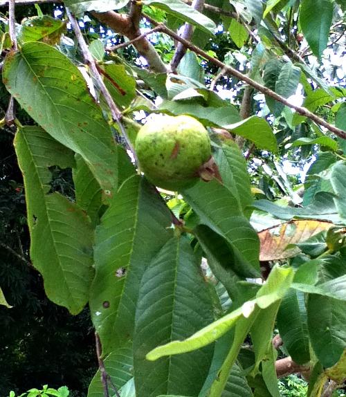 Guava leaves taken by Ann-Marie Bulgin-Graham in Jamaica