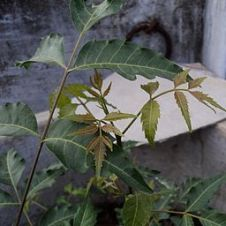 Neem herb: By தகவலுழவன் (Own work) [GFDL (http://www.gnu.org/copyleft/fdl.html) or CC-BY-SA-3.0-2.5-2.0-1.0 (http://creativecommons.org/licenses/by-sa/3.0)], via Wikimedia Commons