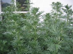 Wormwood By Eddideigel (Own work) [GFDL (http://www.gnu.org/copyleft/fdl.html) or CC-BY-SA-3.0 (http://creativecommons.org/licenses/by-sa/3.0)], via Wikimedia Commons
