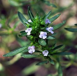 Summer savory medicinal herb: By Karelj (Own work) [CC-BY-SA-3.0 (http://creativecommons.org/licenses/by-sa/3.0) or GFDL (http://www.gnu.org/copyleft/fdl.html)], via Wikimedia Commons