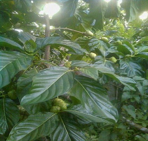 Noni tree in Jamaica, medicinal herbs
