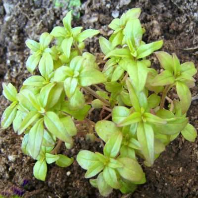 summer savory medicinal herb