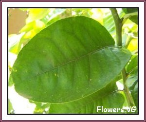 Lime leaf medicinal herb