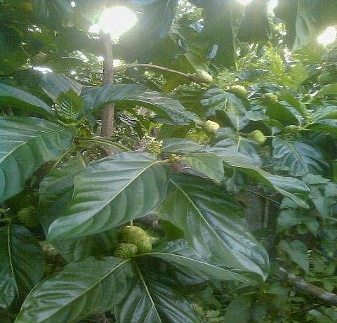 Noni tree in Jamaica