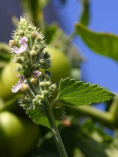 catnip medicinal herb https://commons.wikimedia.org/wiki/File:Catnip-blossom.jpg This work has been released into the public domain by its author, Jon Sullivan