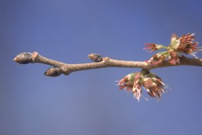 https://commons.wikimedia.org/wiki/File:Ulmus_rubra_twig_and_flowers.jpg