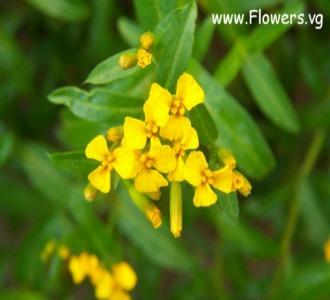 Tarragon medicinal herb