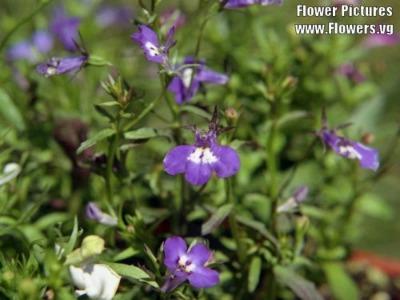 Lobelia medicinal herb