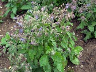borage medicinal herb
