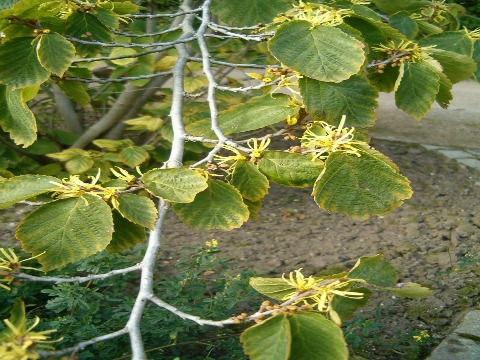 witch hazel medicinal herb
