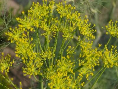 Dill medicinal herb