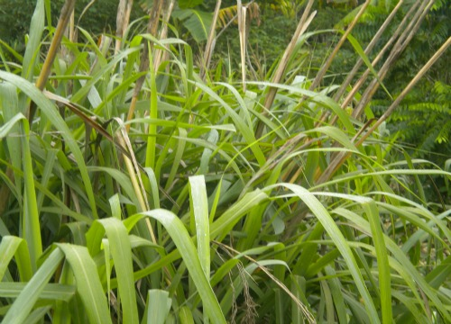 Lemon grass, also called fever grass with its beautiful blade leaves ready to be made into herbal tea