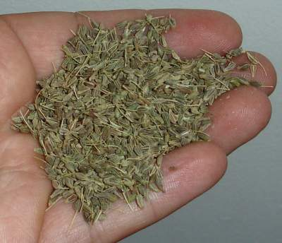 Aniseed held in hand