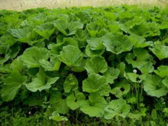 burdock medicinal herb for fibroid