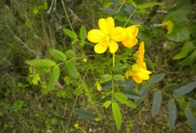 Dandelion herb taken at home