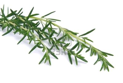 Rosemary, an aromatic herb