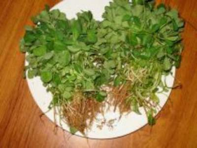 fenugreek for asthma