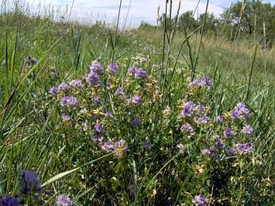 alfalfa medicinal herbs