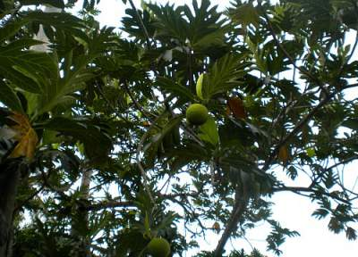 Breadfruit tree taken in my yard