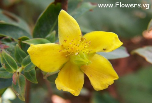 st johns wort medicinal herb