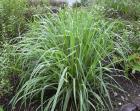 fever grass aka lemongrass