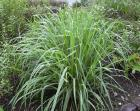 fever grass aka lemongrass