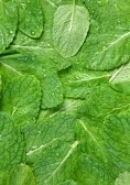 spearmint medicinal herb