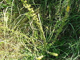 Agrimony is a good tonic to treat impure blood.