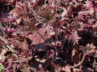 Alum root medicinal herb