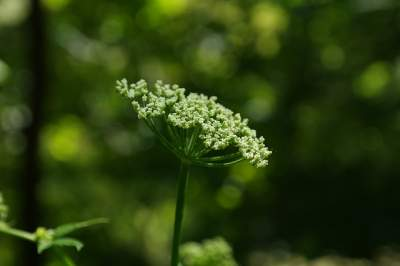 Angelica herb is a good remedy for cold and flu.