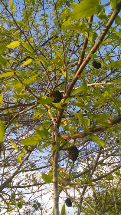 Bas cedar tree!! Leaves, bark and root can be used as herbal medicine.  This tree was taken at my home in Jamaica.