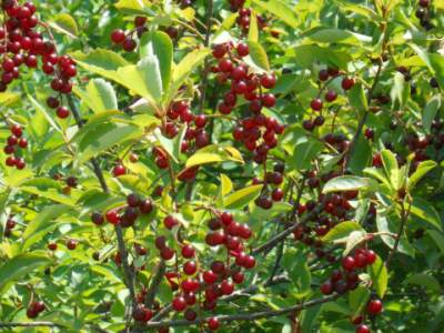 Wild, black cherry medicinal herb