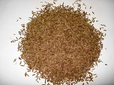 caraway medicinal herb