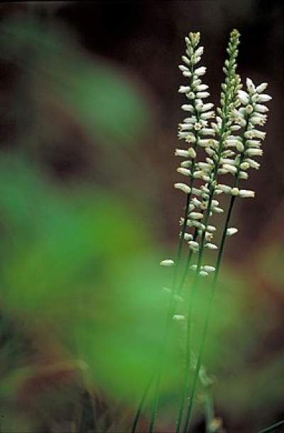Star grass medicinal herb is also called true unicorn and colic root.