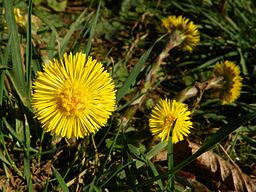 Cotsfoot: By AnemoneProjectors (Flickr: Colt's-foot (Tussilago farfara)) [CC-BY-SA-2.0 (http://creativecommons.org/licenses/by-sa/2.0)], via Wikimedia Commons