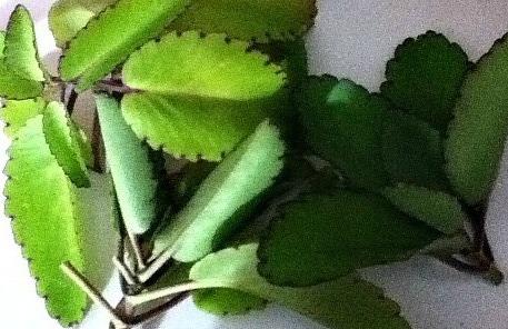 Leaf of life medicinal herb