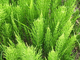Horsetail medicinal herb: By MPF (Own work) [CC-BY-SA-3.0 (http://creativecommons.org/licenses/by-sa/3.0) or GFDL (http://www.gnu.org/copyleft/fdl.html)], via Wikimedia Commons