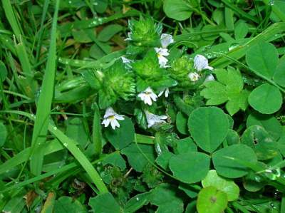 Eyebright with grass and clover: By Rosser1954 (Own work) [CC-BY-SA-3.0 (http://creativecommons.org/licenses/by-sa/3.0)], via Wikimedia Commons