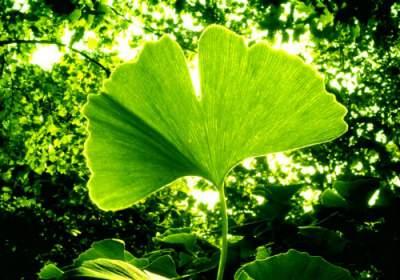 ginkgo biloba medicinal herb