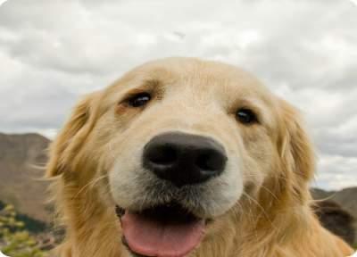 Golden retriever - pet herbal remedy