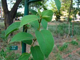 Gymnema sylvestre: Satheesan.vn at ml.wikipedia [CC-BY-SA-3.0 (http://creativecommons.org/licenses/by-sa/3.0)], via Wikimedia Commons