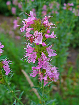 Hyssop medicinal herb By H. Zell (Own work) [GFDL (http://www.gnu.org/copyleft/fdl.html) or CC-BY-SA-3.0 (http://creativecommons.org/licenses/by-sa/3.0)], via Wikimedia Commons