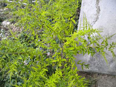 John Charles medicinal herb taken in my yard