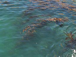 Kelp By myself, PatríciaR (Own work) [CC-BY-SA-2.5 (http://creativecommons.org/licenses/by-sa/2.5)], via Wikimedia Commons