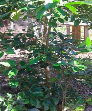 Lime leaves   Lime Leaf   Medicinal Herbs - Medicinalherbs-4u com